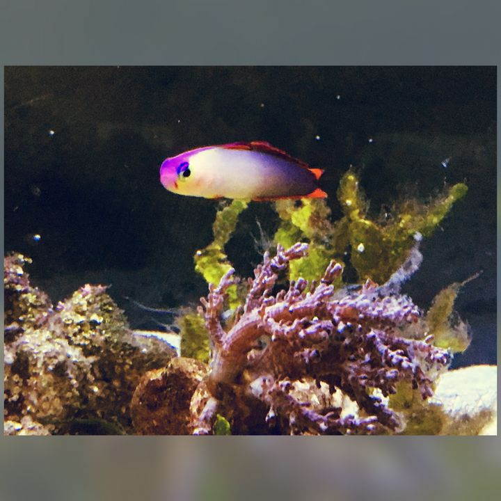 Purple Firefish Goby - Fish Dont Talk
