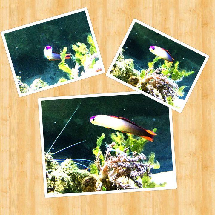 Purple Firefish Collage - Fish Dont Talk