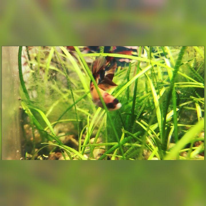 Koi Betta - Fish Dont Talk