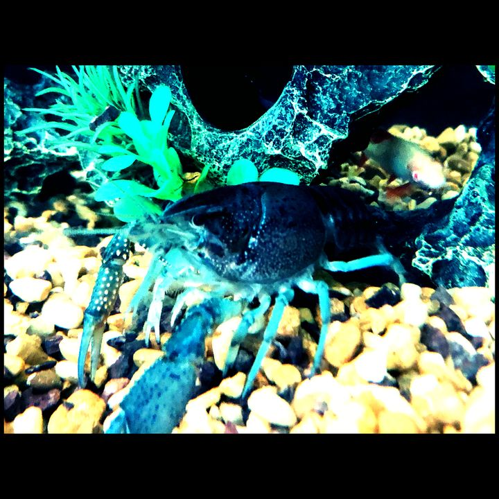 Blue Crayfish - Fish Dont Talk