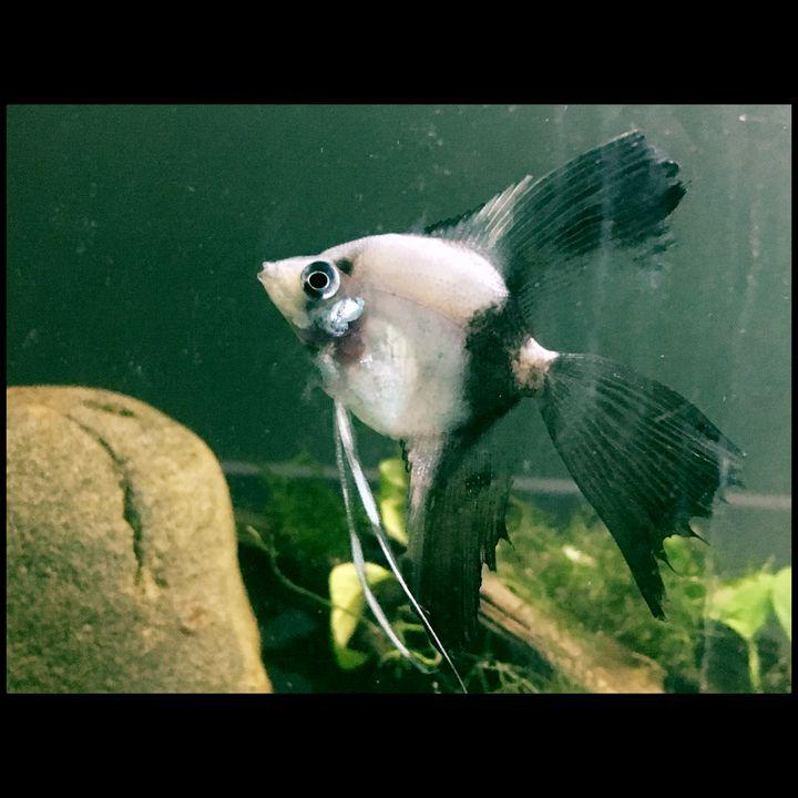 Half Black Angel Fish - Fish Dont Talk