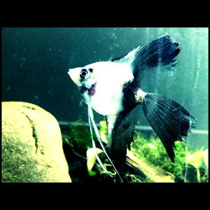 Half Black Angel Fish