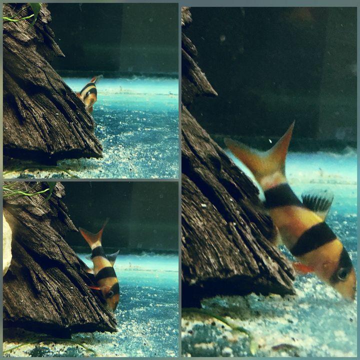 Clown Loache Collage - Fish Dont Talk