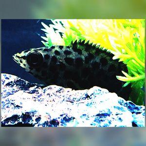 African Bush Fish/Leopard Fish