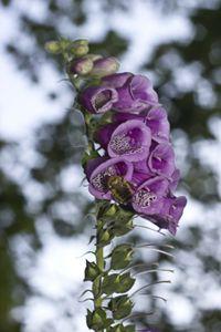 Pollination of a Penstemon - Courtney Meyer