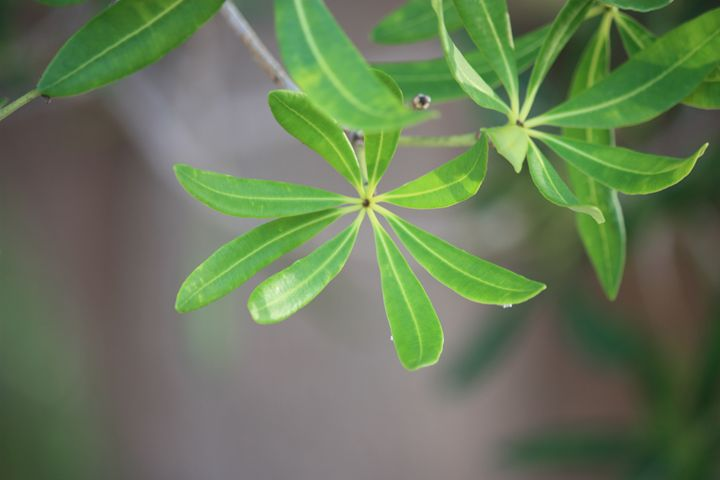 leaves - ABC