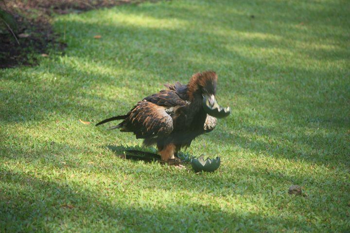 eagle - ABC