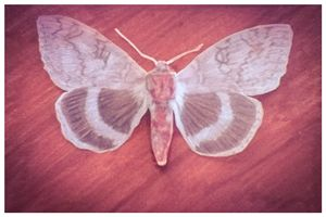lead brocade moth