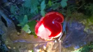 woodland red toadstool