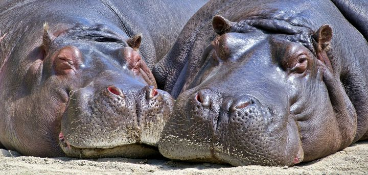 Beautiful Hippos - Animals Love And Respect