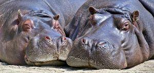 Beautiful Hippos