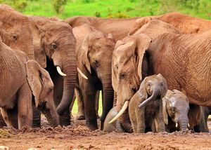 Elephants - Animals Love And Respect