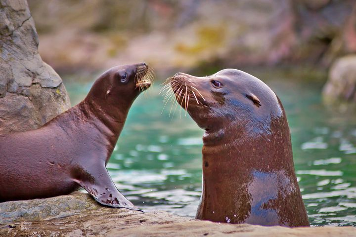 Sea Lions - Animals Love And Respect