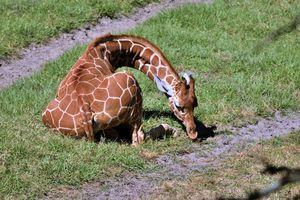 Giraffe - Animals Love And Respect