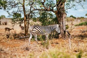 Zebras - Animals Love And Respect