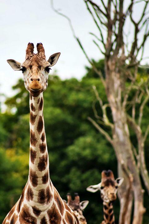 Beautiful Giraffes - Animals Love And Respect