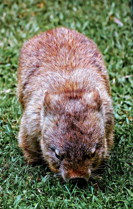 Cute Wombat - Animals Love And Respect