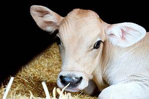 Cow Chillin