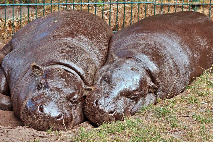 Happy Hippo's - Animals Love And Respect