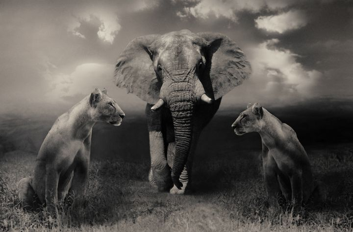 Elephants with lionesses - Animals Love And Respect