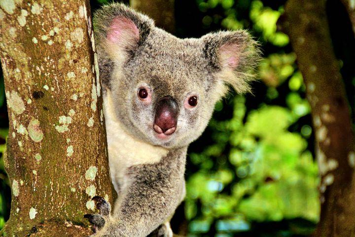 Peek-a-boo Koala - Animals Love And Respect