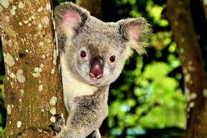Peek-a-boo Koala