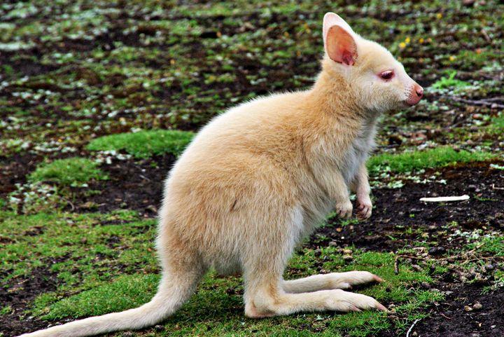 Beautiful Albino Kangaroo - Animals Love And Respect