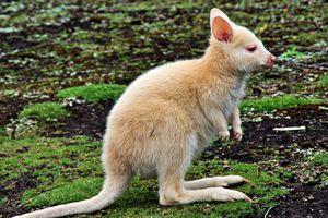 Beautiful Albino Kangaroo