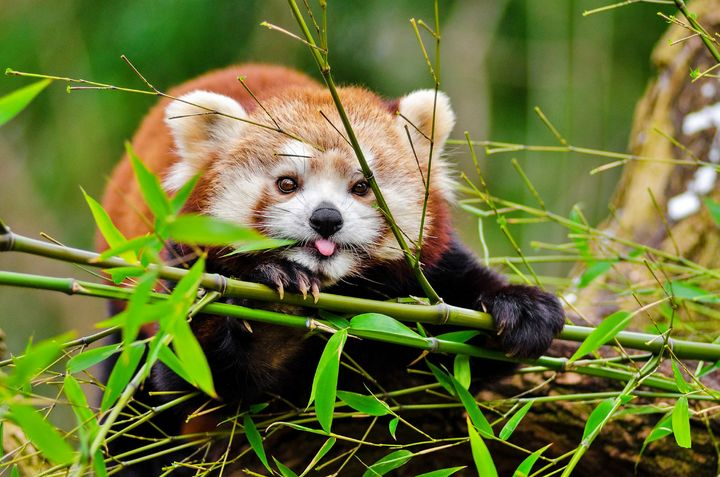 Red Panda - Animals Love And Respect