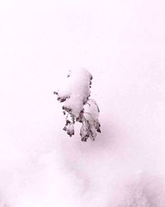 Shrub in the Snow