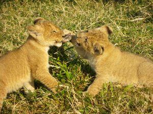 Cub Fight