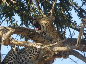 Cheetah's Tree