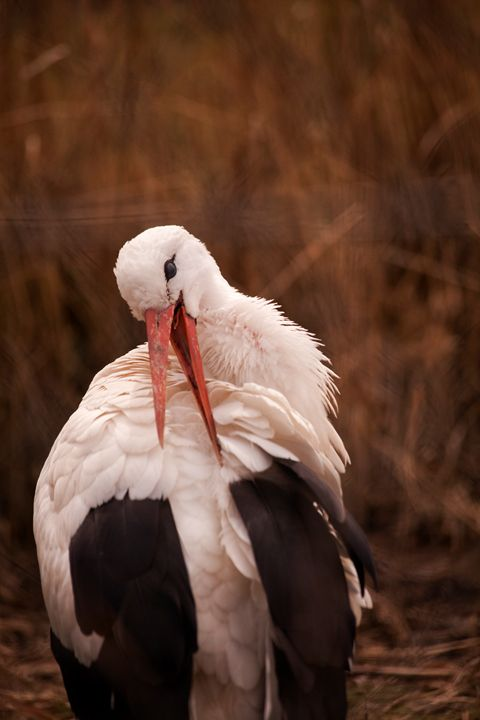 Adebar or White Stork - Lincoln Artwork