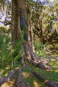 Scarred Oak
