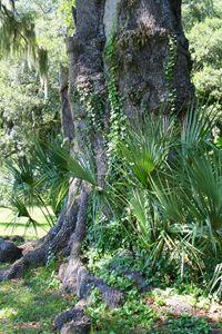 Olden Oak