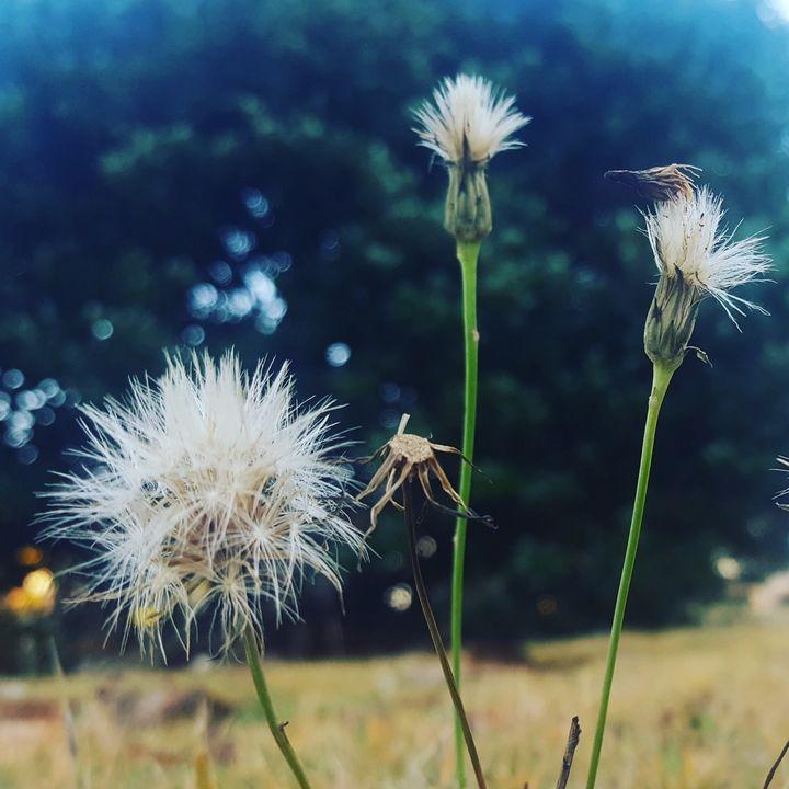 Dandelions - Peyton's Mind