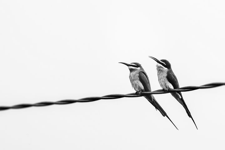 Bee-eaters birds - Pierre-Yves Babelon