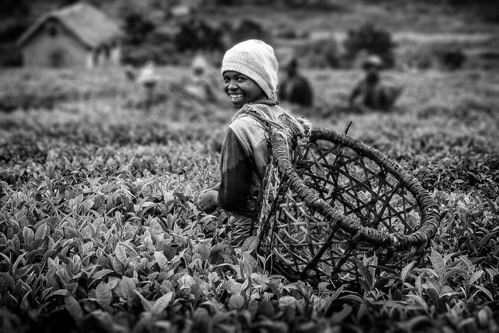 Tea picker - Pierre-Yves Babelon