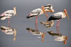 Painted Storks in Still Water