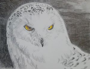 Snowy owl in pencil