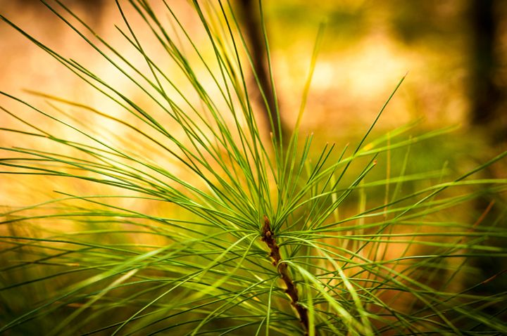 green pine - Pash3n Photography