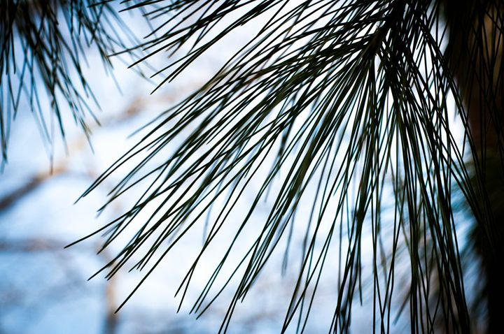 Pines - Pash3n Photography