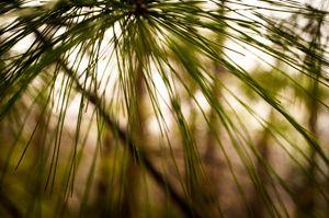 raining pine