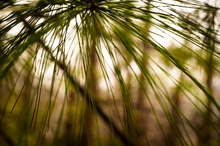 raining pine - Pash3n Photography