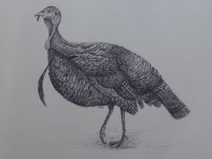 Turkey1 (pen and ink)