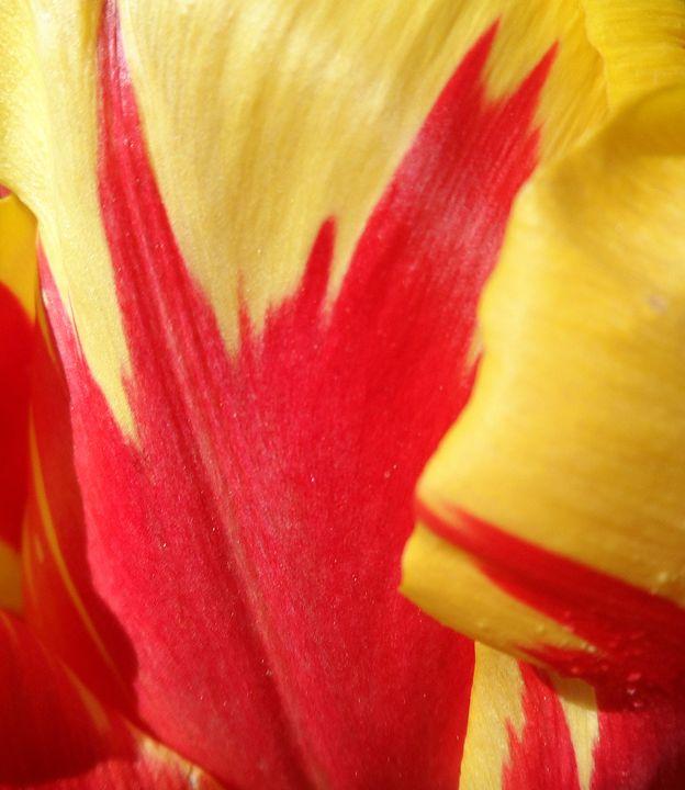 Tulip - Brian Aldridge