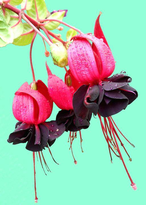 Fuchsia - Brian Aldridge
