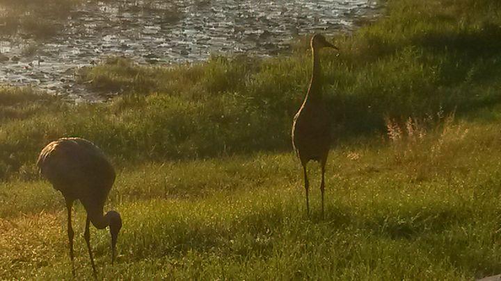 Sandhill Cranes - Unik's Uniques