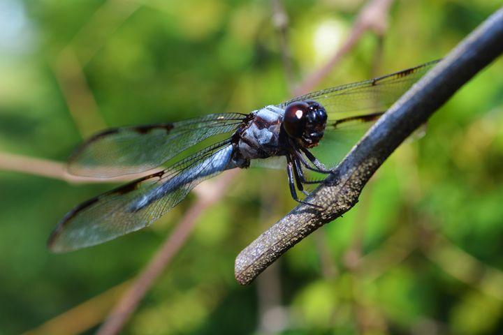 Blue Dragonfly - TrixieTheTrickster