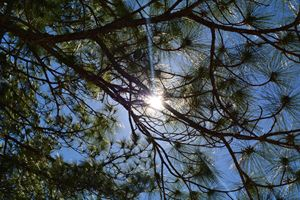 The Sun Through The Pines